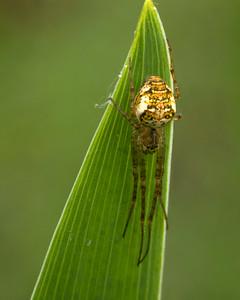 Mettellina Sp spider on reed