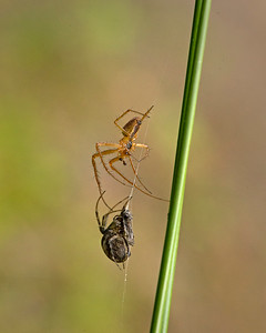 Metellina Sp spider preying on another