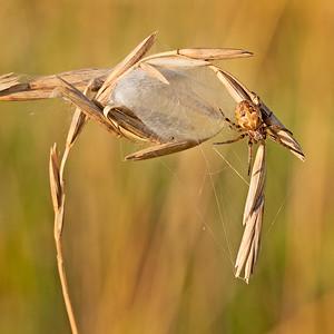Lariniodes sp Spider