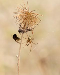 Metellina Sp Spider