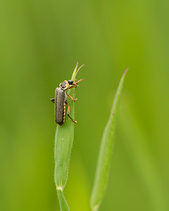 Soldier beetles cleaning its antennae
