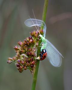 Seven spot ladybird with prey