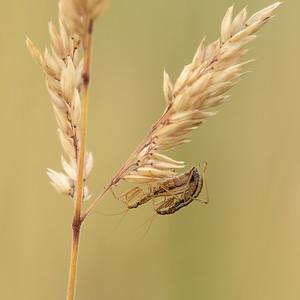 Damselbugs mating