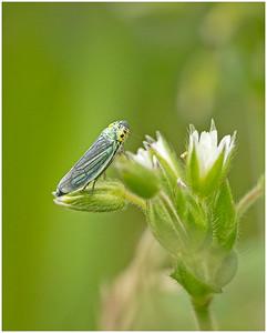 Leafhopper (Cicadella;viridis;)