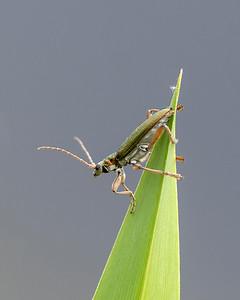 Donacia vulgaris Beetle in the reeds