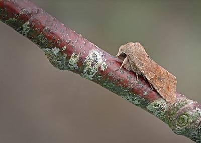 Clouded Drab moth