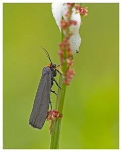 Red-necked Footman Moth