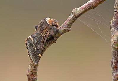 December Moth and web