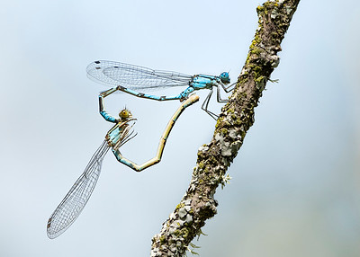 Common blue damselflies mating (17.6.20)