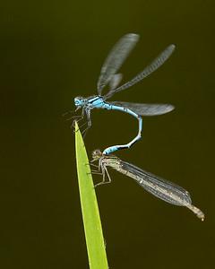Common blue damselflies