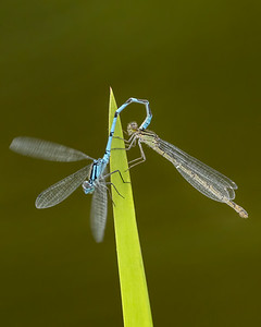 Common blue damselflies mating (17.6.20))
