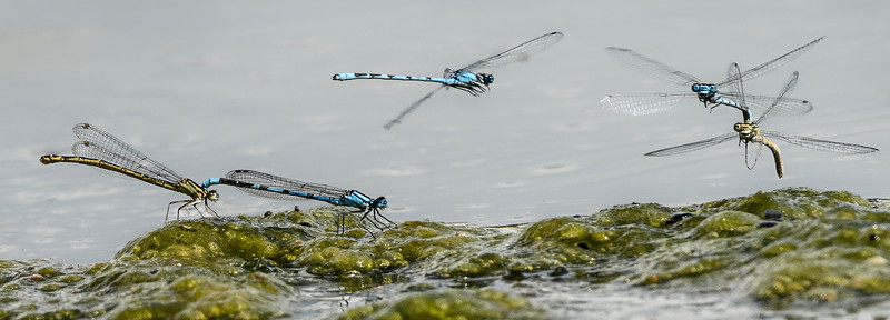Common blue mating pairs