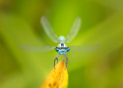 Common blue damselflies full face