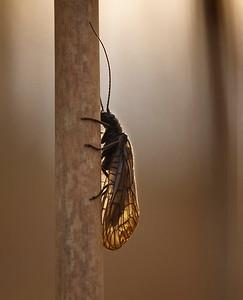 Alderfly in evening light