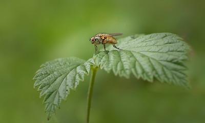 Scathophagidae sp fly