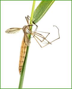 Crane fly Tipula sp.