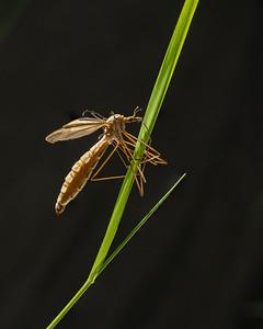 Crane fly roosting