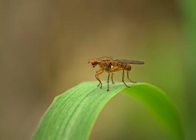 Scathophagidae fly