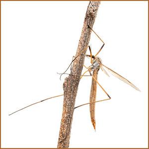 crane fly (female)