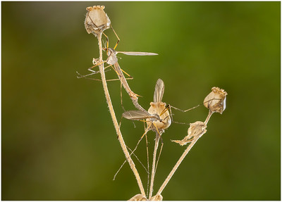 Crane flies mating (tipula sp)