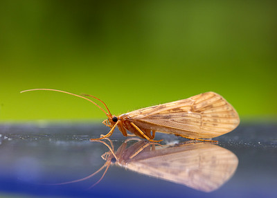 Caddis Fly Reflections