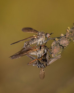 Empididae Sp