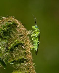 Sawfly . Tenthredo olivacea.