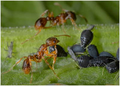 Myrmica ants feeding on honeydew produced by the black aphids.