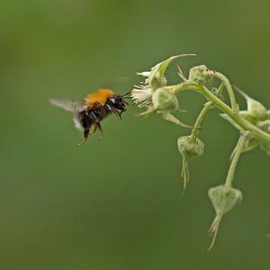 Tree bumble bee on bramble