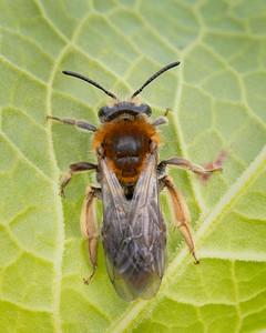 Orange tailed mining bee
