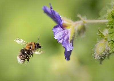Tree bumble bee