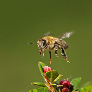 Honey bee on cotoneaster