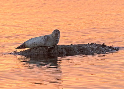 Grey Seal at dawn