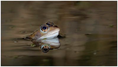 Common frog male
