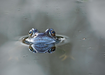 Common Frog (male)