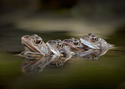 Common Frog mating pairs