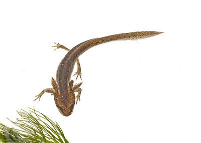 Palmate Newt (Juvenile)