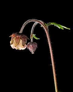 Water avens 29.4.20