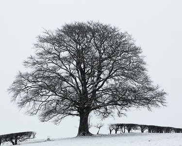 Beech in Winter