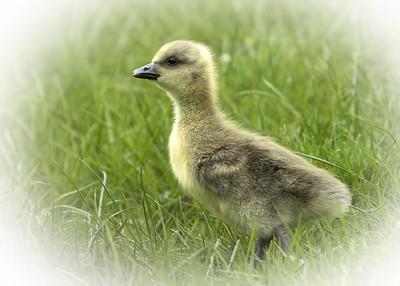 Grey Lag Gosling