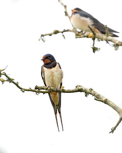 Swallows gathering to leave