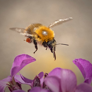 Common Carder bee with mites