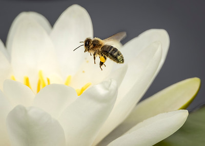 Honey bee approaching water lily