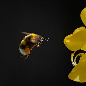Buff-tailed bumblebee on Broom