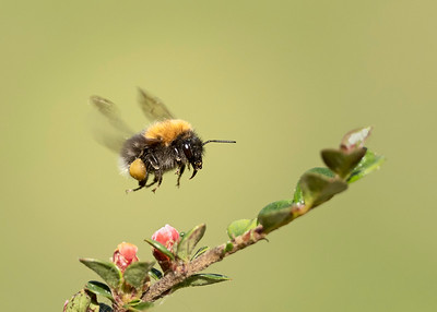 Tree bumble bee on cotoneaster