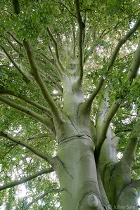 Incredible beech tree at St Mary's church