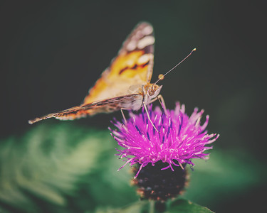 Scottish Butterfly