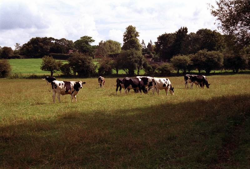 Cows grazing in field at Sonning Berkshire