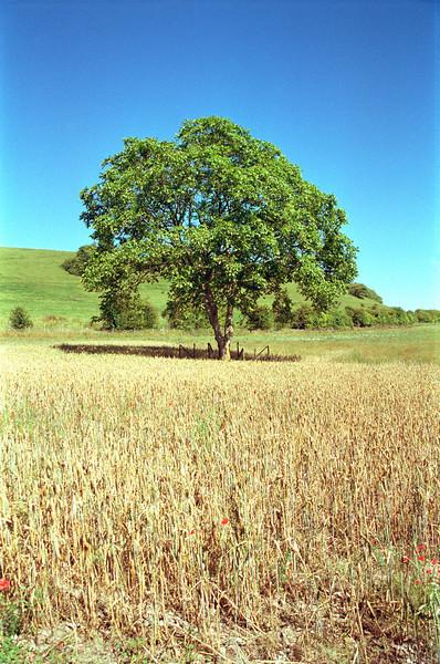 Tree in field at Turville Buckinghamshire England