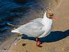 Black-headed Gull